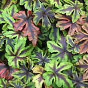 The evergren leaves of Heuchera, Heucherellas and Tiarellas can offer interesting foliage forms, colour and texture throughout the winter months.
