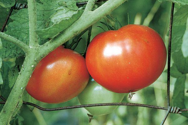 Expert advice on growing beefsteak tomatoes, including preparing the soil, choosing the best varieties, planting, pruning, and fighting common diseases.