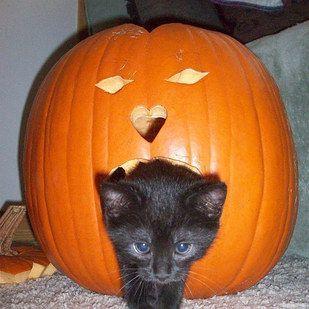Canned Pumpkin In Cat Food