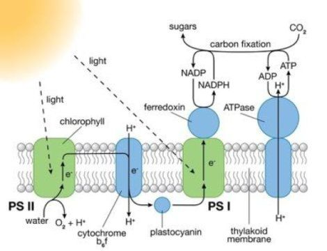 Photosystems (PS) I and II are large protein complexes that contain light-absorbing pigment molecules needed for photosynthesis. PS II captures energy from sunlight to extract electrons from water molecules,