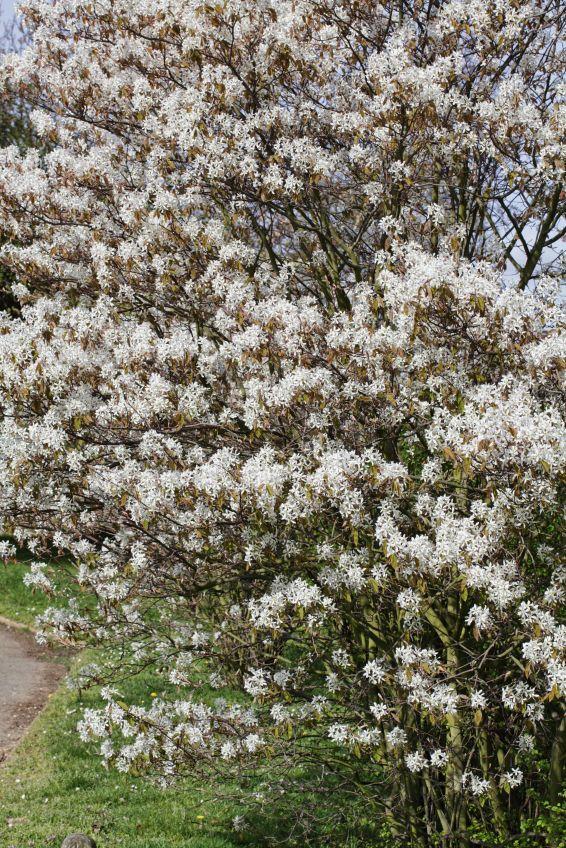 Strauch Der Felsenbirne Als Hecke Essbare Fruchte Felsenbirne Naturgarten Gartenbepflanzung