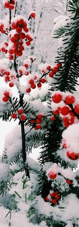 .Berries on branches in the snow.
