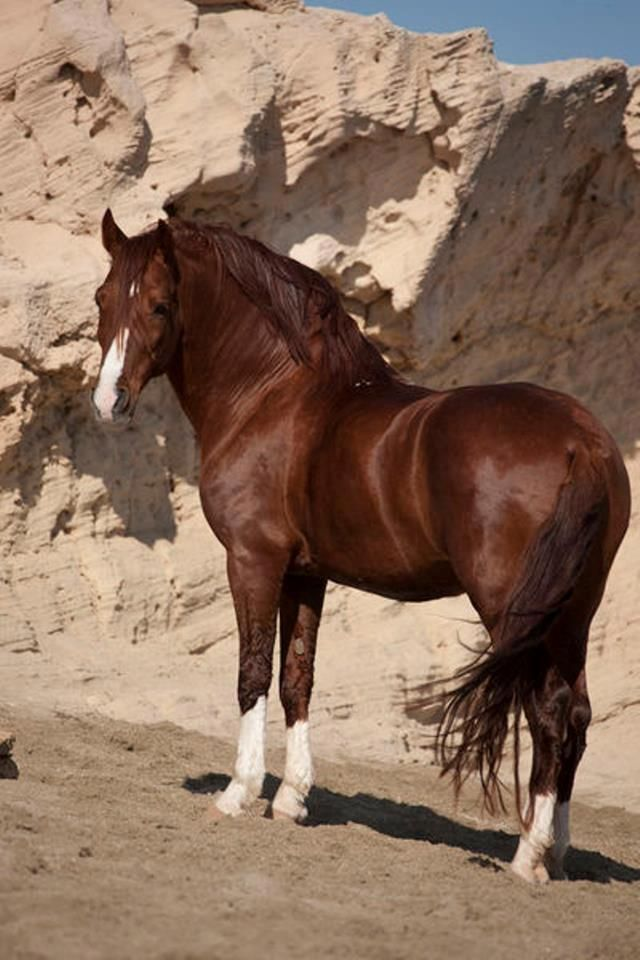 beautiful chestnut stallion