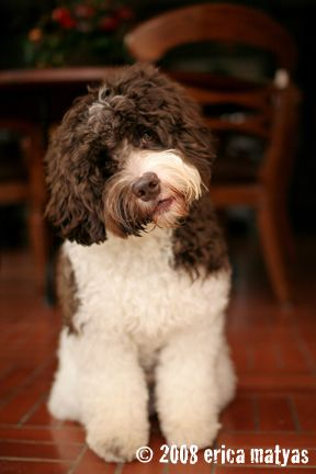 Labradoodle grooming tutorial from Rainmaker Ranch Labradoodles