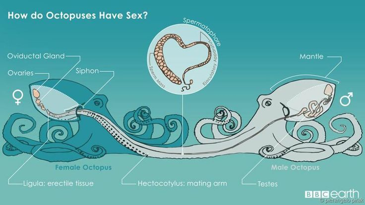 How Does The Octopus Mate Via Bbc Earth Nature Science -7327