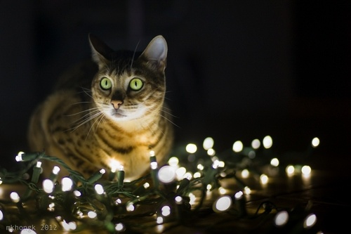 pretty Christmas kitty:)
