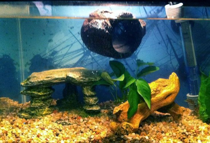The old floating log betta and fish love pinterest for Betta fish floating