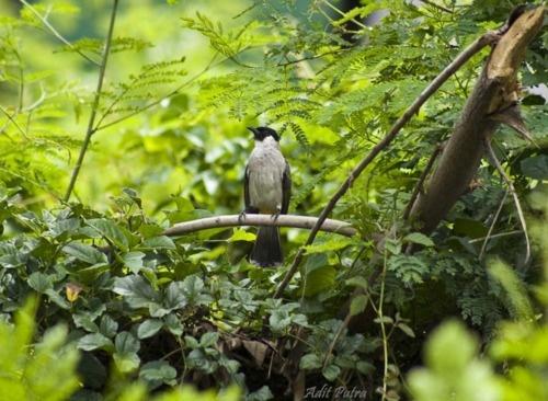 Kutilang Bird: Kutilang Birds, Photography