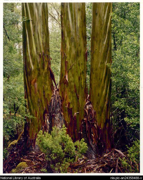 Peter Dombrovskis,1945-1996. Eucalypt trunks in rain, Pine Valley, Tasmania, 1987 [picture]