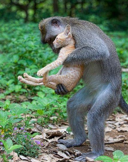 Monkey adopts the kitten.