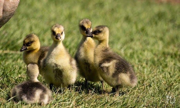 naissance oie de guinée au Domaine du Martinaa en Normandie