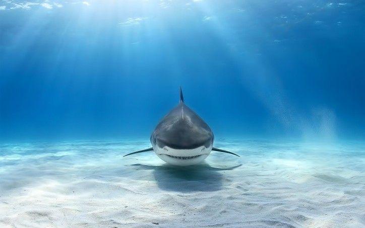 Shark HD Desktop Wallpaper High Resolution Wallpaper