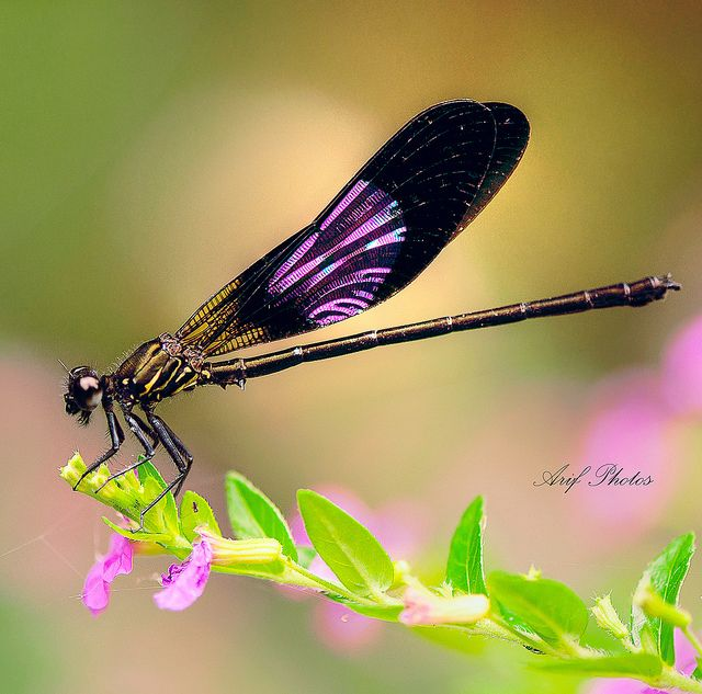 Purple dragonfly or damsel fly. It is odonata. Even I can tell that. Yes, these guys need a board of their own.