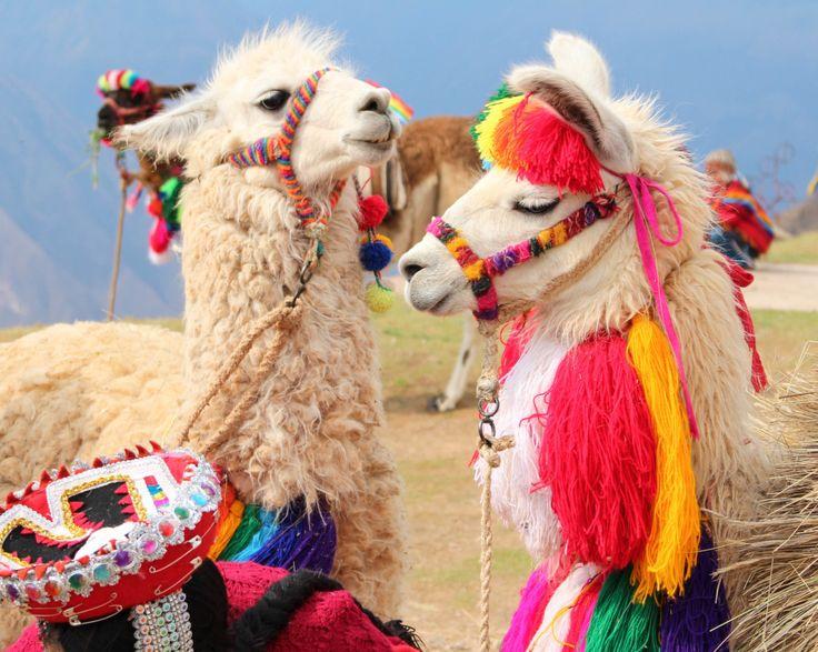 603 Best Llamas & Alpacas Images On Pinterest