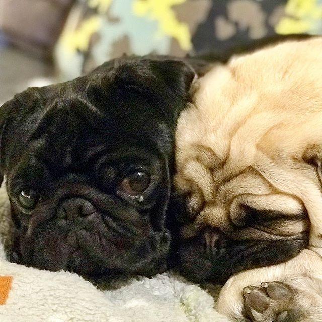 Best Friends Pug Pugstagram Puglife Black Pug Puppies Dogs