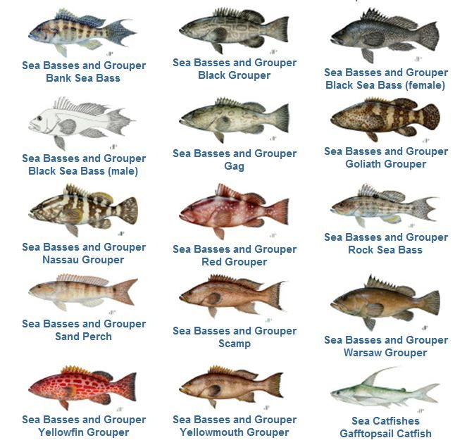 Snapper fish species grouper family florida fish for Fish species in florida