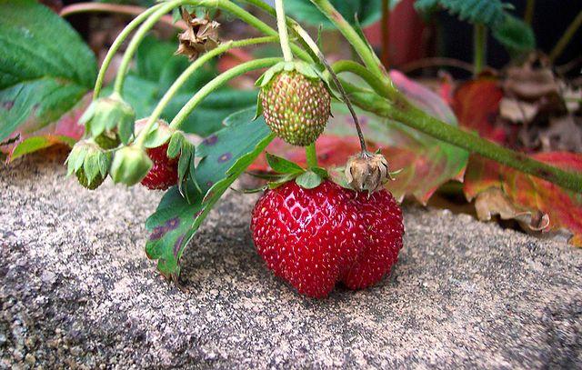 Cómo cultivar frutillas en la huerta de casa - Las frutillas pueden ser una muy buena incorporación en casi toda huerta hogareña, debido a la versatilidad y sencillez de su cultivo, el poco espacio requ