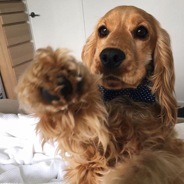 Mi Piace 949 Commenti 10 Zara The Cocker Spaniel Zara The Cocker Su Instagram Rise And Shine Everypawdy Spaniel Puppies Cute Dogs Cute Animals