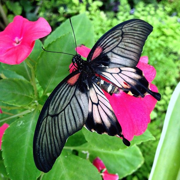 Butterfly World is one of the more unique Cape Town attractions where you can marvel at hundreds of free-flying exotic butterflies in a large green house. Fun for all ages! #Family #CapeTown