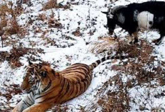La capra data in pasto alla tigre e invece sono diventati amici..Guarda/VIDEO