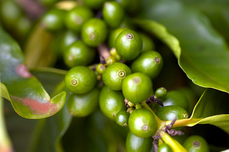 """I understand this is your harvest, Mr. Cockburn. It's exceptional."" #VoicesEcho  ~~ Coffee berries - A lush vegetation - Jamaica"