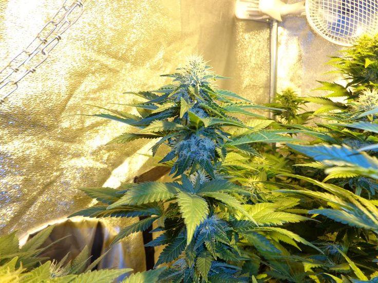 Blue Berry Female Cannabis Seeds Big Indica body stoner week 5