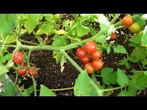 As melhores dicas para tomate e pimenta darem certo em vaso - YouTube