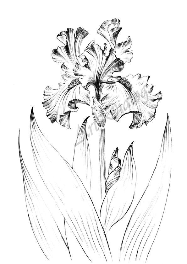 Iris Flower Sketch Living Room Art Large Print Clip Art Etsy Flower Sketches Iris Flowers Iris Drawing