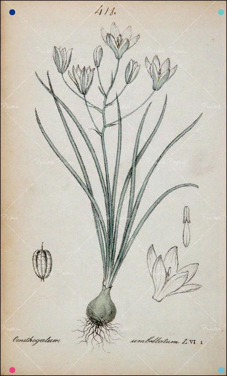 Angrec Star Of Bethlehem Victorian in 2020 Botanical