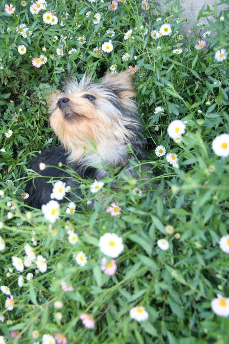 Brandi, our Yorkie, smelling the daisies!