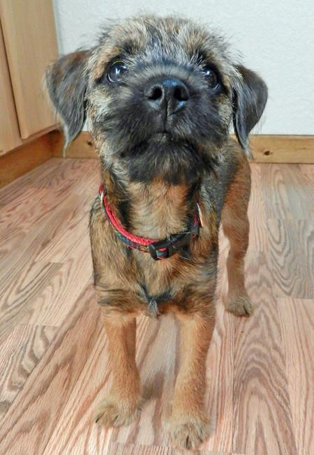 You can't beat a Border Terrier on the cute-ometer ~ I've mostly had big dogs but I'm drawn to these guys.