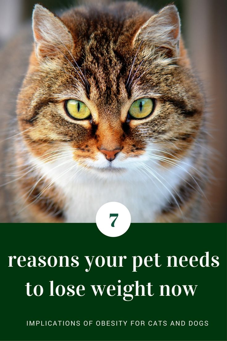 7 Reasons To Start Slimming Your Overweight Pet Today Cat
