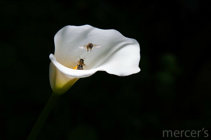Bees in an arum lily