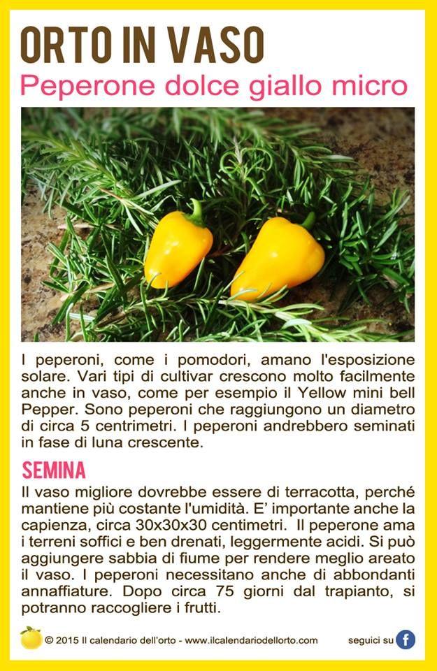 Il Peperone dolce giallo micro
