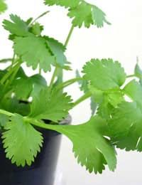 CORIANDER - Coriander enjoys a sunny position but appreciates a little shade during the hottest part of the day.