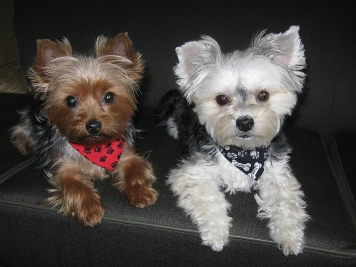 yorkie and maltese our girls quot bella yorkie roxy morkie aka maltese 9625