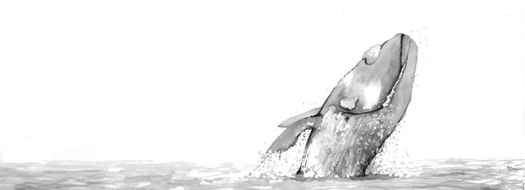 Right Whale breaching. Hand drawn in ink.