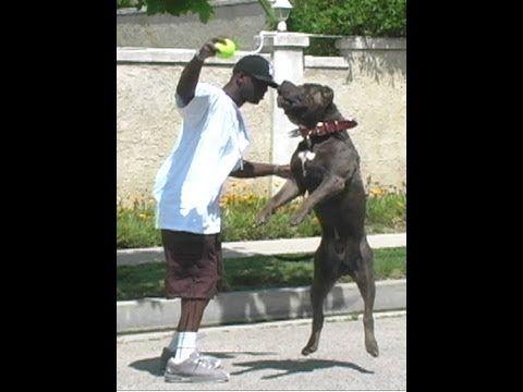 Largest Bully XXL Huge blue Pitbull, BGK's The Rock playing ball: giant pitbull