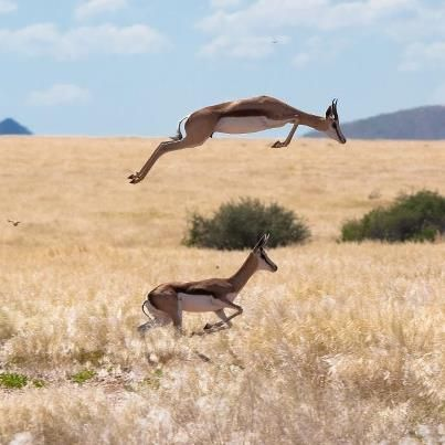 Springbok South Africa's national animal BelAfrique - Your Personal Travel Planner www.belafrique.co.za