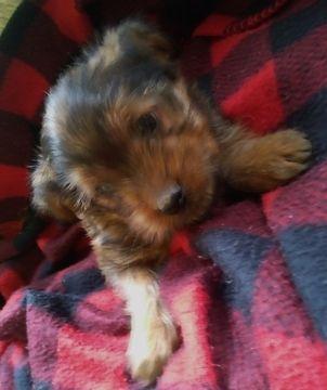 Litter of 5 Shorkie Tzu-Yorkshire Terrier Mix puppies for sale in BELLEVILLE, PA. ADN-67773 on PuppyFinder.com Gender: Male. Age: 8 Weeks Old