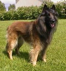 The Tervuren is shown in a natural state, with minimal trimming and cosmetic products. Bathing, brushing, and trimming the fur on the feet w...