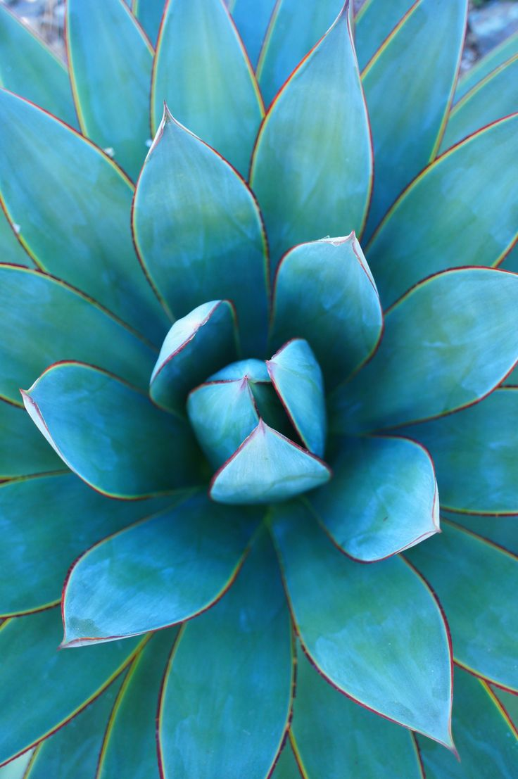 The beauty of blue glow agave