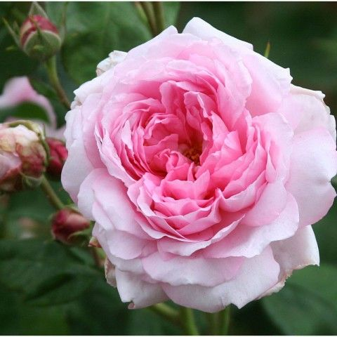 """""""Wife of Bath"""" Nicely formed, small, double, cupped blooms of rich rose-pink produced in abundance on a compact, bushy plant that is very sturdy and easy to grow. The perfect rose for the small garden or for growing in pots. Outstanding, the best small English Rose. Myrrh fragrance. Almost always flowering."""