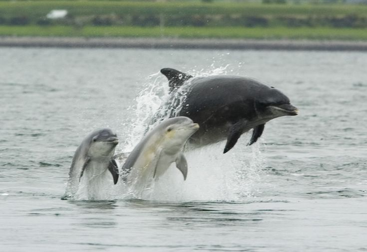 File:Bottlenose dolphin with young.JPG - Wikipedia, the free ...