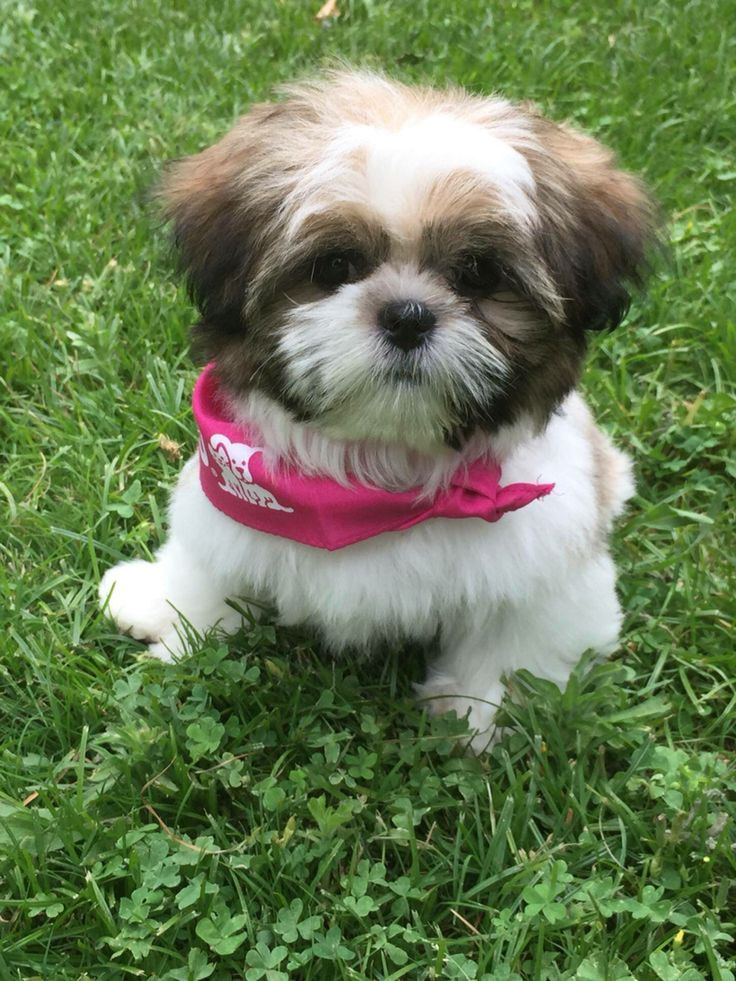 best shoo for shih tzu 1003 best images about miss molly molly moo moo the big 1065