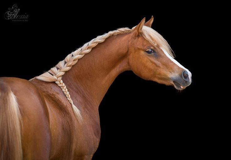 Breed: Welsh Pony