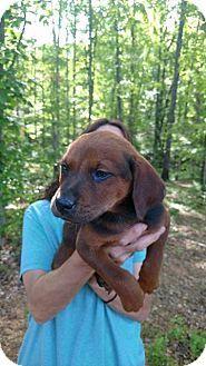 4/22/17 Matawan, NJ - Labrador Retriever/Coonhound Mix. Meet Red, a puppy for adoption. http://www.adoptapet.com/pet/17996396-matawan-new-jersey-labrador-retriever-mix