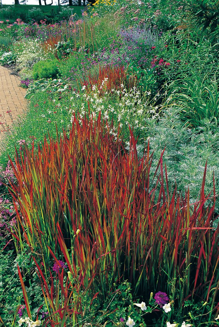 Love the japanese blood grass great color without a lot for Coloured ornamental grasses