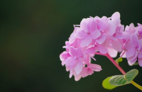High Resolution Picture Of Hydrangea Flower in Pink Color