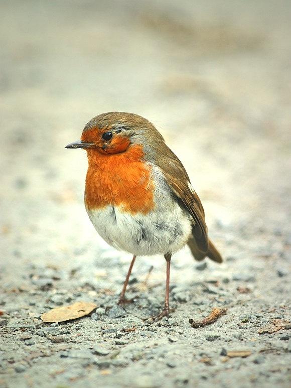 Bird nature photograph 8x6 robin by szalonaisa via Etsy #fpoe